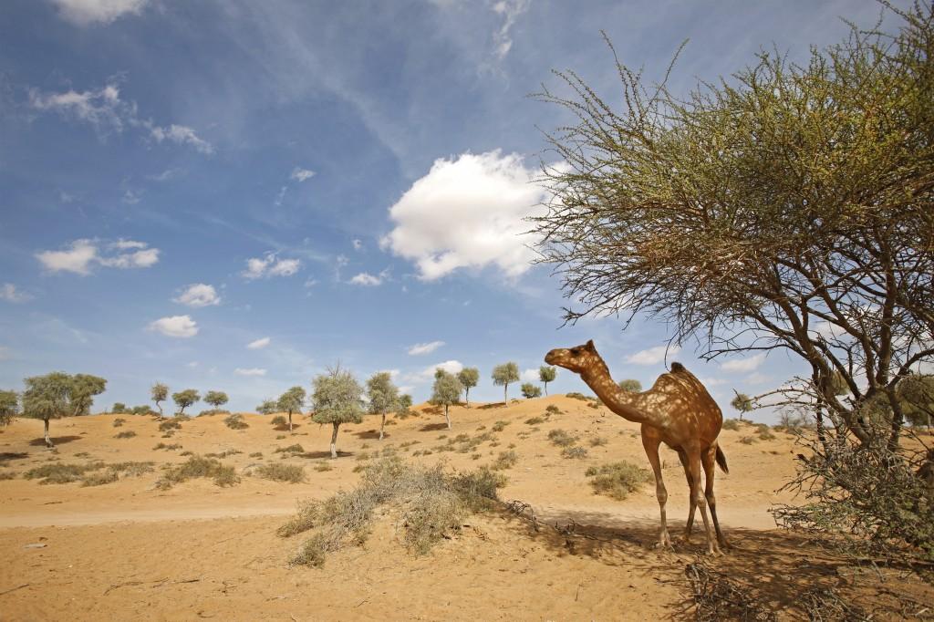 Ras Al Khaimah - Camel_67244